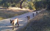 威斯康星大学的研究人员探索加利福尼亚山狮的遗传学 以告知未来的保护